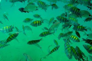 CV_Paraty_Blue_Lagoon_fish