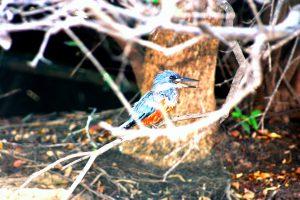 Pantanal rio mutum kingfisher II