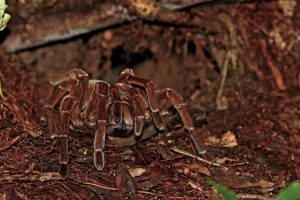 Amazon Tarantula